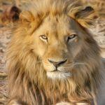 lion-2923947_1920